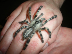 lovelybeasts:  My boyfriend's Indian Ornamental (Poecilotheria regalis)  So beautiful!