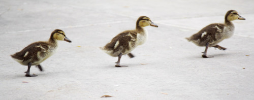 alexisavalos:  Oh my goodness, I followed these little ducks around for almost an hour when I discovered them running around the park by my library one day. They're just to adorable, I couldn't pass up the opportunity to take their picture!