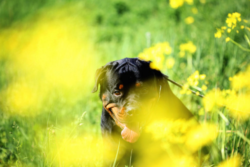 Rottweilers love yellow!