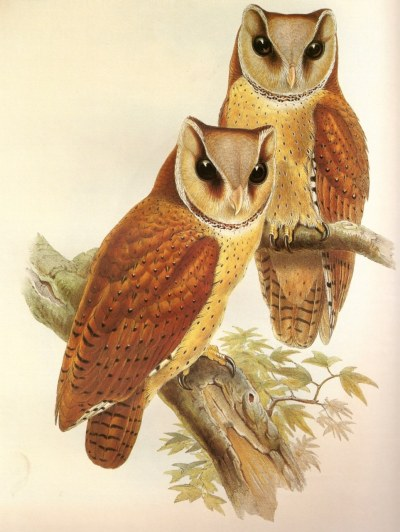 Oriental Bay Owl. Relative of the barn owl. Birds of Asia. John Gould, 1850.