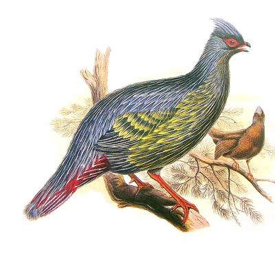 Blood Pheasants, Ithaginis cruentus, from Nepal and the surrounding areas. Lives at low elevations, unlike some Himalayan birds. Generally does not make its home above 5000 feet above sea level. A Century of Birds from the Himalayas. John Gould, 1832.