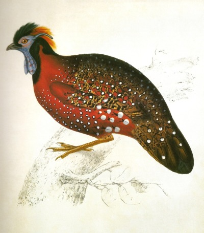 Tragopan satyra, the Satyr or Crimson Tragopan. Also known as Crimson-Horned Pheasant. A Century of Birds from the Himalaya Mountains. John Gould, 1832.