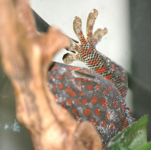 Tokay Gecko (2/3) female  She's a little darker than the other female (stressed), but I got her positioned behind her plants so she could calm down… unfortunately that means I have a bad picture of her… I'll need to get another one once she's a better color. :) She also doesn't have a name yet.