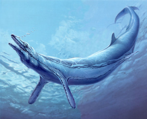 mudwerks:  (via Basilosaurus - Prehistoric Earth Wiki)  Basilosaurus was a prehistoric whale from the Late Eocene, 40 to 35 million years ago. Basilosaurus was extremely long for a whale, because of its elongated verterbrae. It has been described as the closest a whale came to a snake. Basilosaurus was 18-21 metres long, and its back limbs, being 0.6 metres long, were no use in locomotion.
