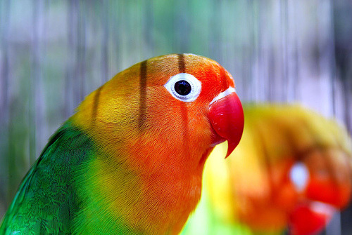 theanimalblog:  Nyasa lovebird (by floridapfe)  I will call it Squishy PoopAnd it will be my Squishy Poop(I actually do call my lovebirds Squishy Poops XD)