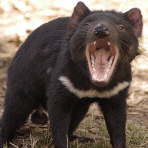 Now we have the genome can we save the Tasmanian devil from extinction? A contagious cancer has caused the population of Tasmanian devils to fall 70% since 1996. Due to there being very little genetic variation in the population, when an infected animal bites another their natural defences don't recognise the cancer cells as foreign, so they can multiply within the new hosts body. The hope is, that now we have the genome sequenced for two devils, genetic tests can be made to ensure breeders select genetically diverse mates. This will create a stronger healthier population affording them the possibility to fight off not only the cancer, but a whole host of other diseases.