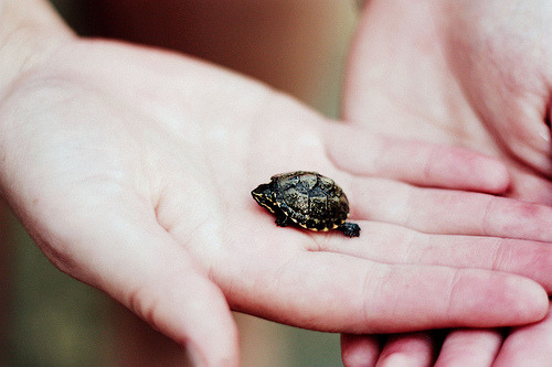 A baby turtle. One of the top ten best things in the world.