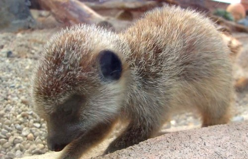 5 week old Meerkat at Wellington Zoo in New Zealand | Submitted by:yourethektomystew