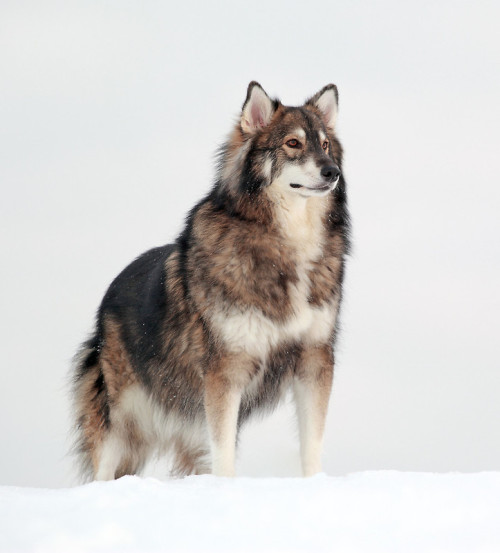 The Utonagan is a breed of dog that resembles a wolf, but in fact is a mix of three breeds of domestic dog: Alaskan Malamute, German Shepherd, and Siberian Husky.   I dare you to find a more majestic dog.