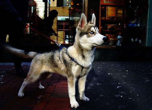 I love huskies.