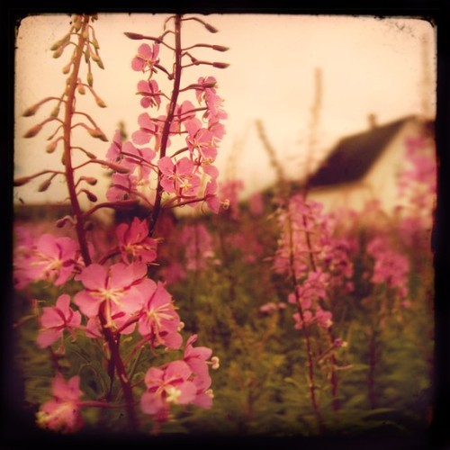 Fireweed - Fine art photographBy: irenesuchocki I could totally live there.