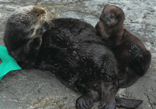 Sea otter pup on exhibit!