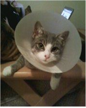 getoutoftherecat:  oh poor cat. no one likes the cone of shame.