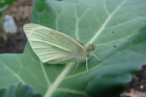 A butterfly on one of my broccoli plants. Taken on June 3rd 2011 with my Sony H5. Click the image to see a larger version.
