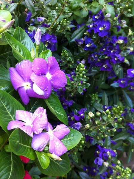 Beat the heat beauty: Lavender Vinca and Purple Angelonia. Deer proof, too!