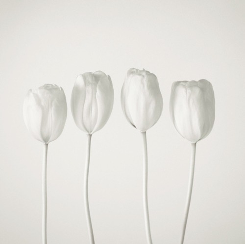 meeeeeeshjkim:  white tulips  Seriously thought they were tampons…