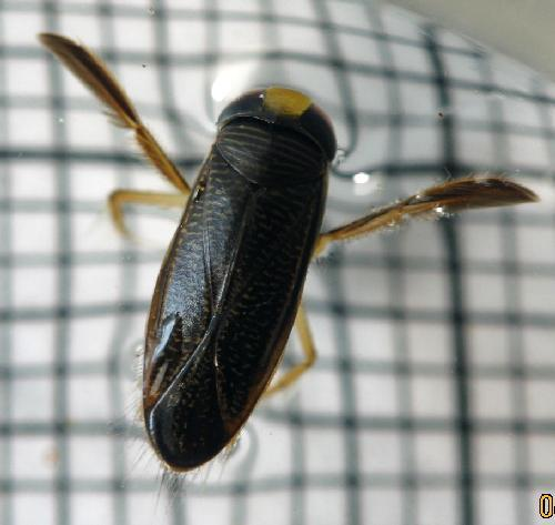 The water boatman is a surprisingly interesting creature. Many of you may be familiar with it as those little things that breast stroke their way through, or across the surface, of water. The really cool thing about these fellas is that at 2.3 millimeters they have the loudest song to body size of any creature. So how do they do this? With their genitals. To produce this sound they use whatever appendage of procreation they have  and rub it against ridges on their body. This sound is about 99.2 decibels, about the level you'd expect from the front row of an orchestra. For comparison the sperm whale, considered the loudest animal on the planet, sings at about 236 decibels.