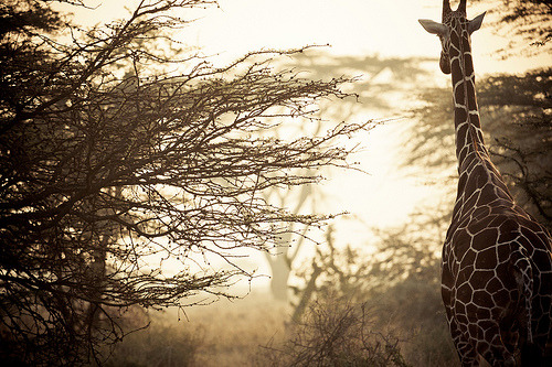 Sunset Giraffe (by Βrandon on Flickr)