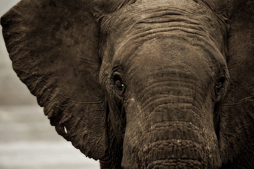 Elephant Head Shot by Βrandon on Flickr