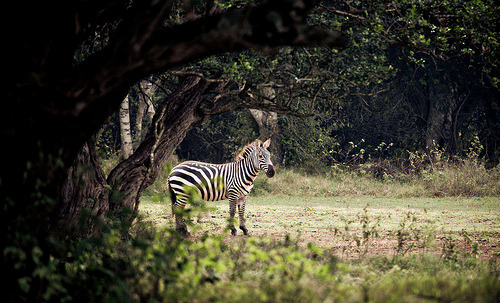 Common Zebra by Βrandon on Flickr