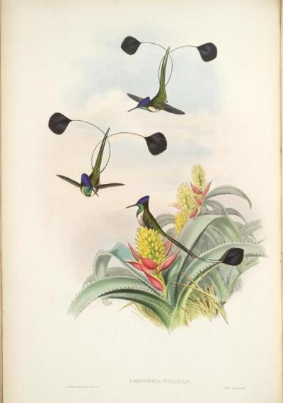 Marvelous Spatuletail and Aechmea mertensii [current correct binomial for Aechmea mucroniflora] - a bromeliad from the rainforests of South America, specifically Columbia Loddigesia mirabilis and Aechmea mucroniflora, John Gould - ca. 1840