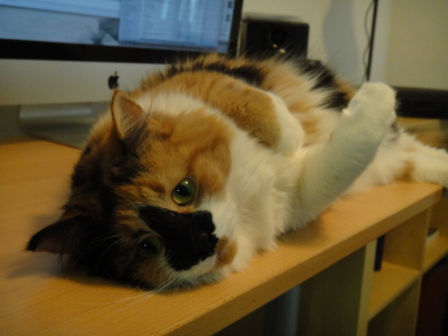 This desk makes a great bed! Aaaaaah, I love his/her black nose :'D