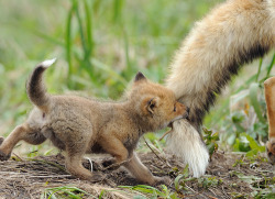 blueleah:  Baby fox biting mom's tail :)