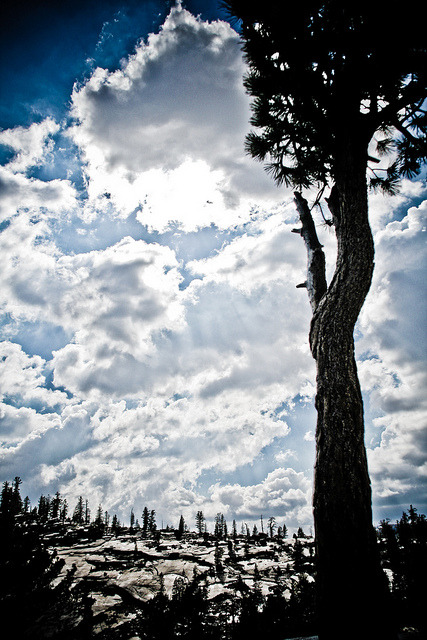 Lone pine at Olmstead Point, Yosemite on Flickr.