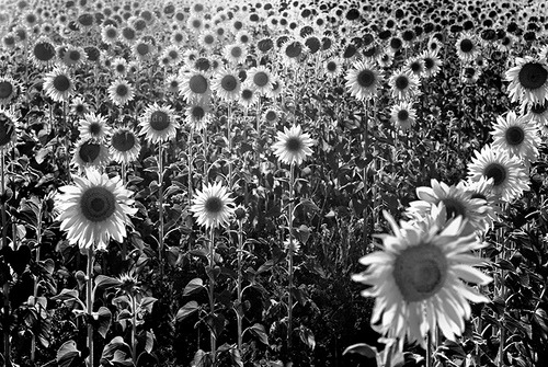 black-and-white:  sunflowers (by Matilde B.)