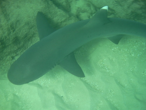 Best parts of my Kauai vacation #1: snorkeling with white tip reef sharks!