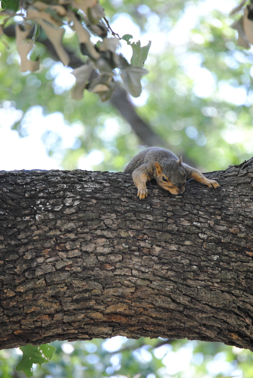 Last weekend there was this squirrel absolutely tired out on a tree branch in my front yard. His friend came by and tried to play with him for a while but he eventually laid back down again. How adorable, huh?
