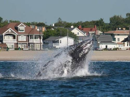 greetingsfromnj:  Humpback whales sighted off Asbury Park