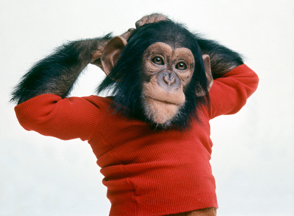 "Project Nim: A chimp raised like a human via New Scientist New documentary (from the makers of Man on Wire) on the story of raising a chimp in a human family environment and raised as a child, as an experiment to see if language was part of primate faculties, or something uniquely human:  Herbert Terrace, a psychologist at Columbia University in New York  and one of the central figures in this film, believed in the continuity  arguments. He started ""Project Nim"" to try and show that a chimp could learn language - in this case American Sign Language - and thereby tell us what he was thinking. But Terrace's project was a shambles. For a start, none of Nim's  surrogate family knew how to teach sign language. More seriously, no one  had considered the consequences of raising a powerful wild animal in a  human environment.  More here"