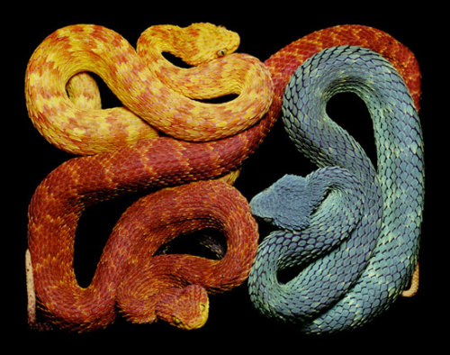 infinitely-obsessed:  Photography by Guido Mocafico Pet snake I want
