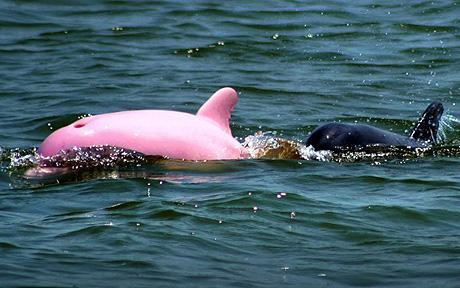 """Pinky the rare albino dolphin has been spotted in Lake Calcasieu in Louisiana"""