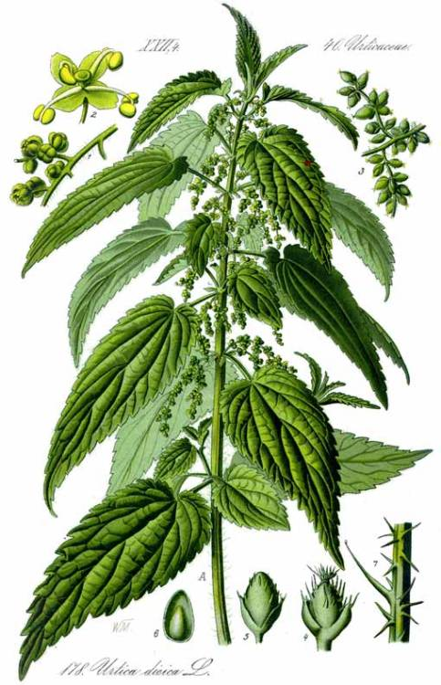 herbalhealing:  Nettle (Urtica dioica) Parts used: Leave, seeds, roots and young tops Benefits: This is the stinging nettle that farmers hate, hikers despise and children learn to avoid.  But herbalists around the world fall at the feet of this green goddess.  It is a vitamin factory, rich in iron, calcium, potassium, silicon, magnesium, manganese, zinc, and chromium, as well as a host of other vitamins and minerals.  It makes a wonderful hair and scalp tonic, and activated the metabolism by strengthening and toning the entire system.  It is useful for growing pains in young children, when their bones and joints ache.  An excellent reproductive tonic for men and women, nettle is used for alleviating the symptoms of PMS and menopause.  It's a superb herb for the genital and urinary system and will strengthen weak kidneys, which are essential for vitality and energy.  It is indicated for liver problems and is excellent for allergies and hay fever.  All this and it tastes good, too! Suggested uses: For any liver disorder, take nettle in tea, tincture or capsule form.  To tone the nervous system, combine nettle in a tea with lemon balm, oats and chamomile.  For reducing the symptoms of allergies and hay fever, take freeze-dried nettle capsules.  For urinary health and for treating edema, drink several cups of nettle tea combined with dandelion greens.  To combat reduced energy and sexual dysfunction, combine nettle in a tea with green milky oat tops and raspberry leaf.  Fresh young nettle leaves have a rich green flavor and can be used to replace spinach in any recipe; but they must always be steamed well, or else they'll sting if undercooked!