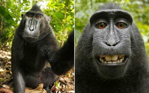 If this isn't proof of evolution, I don't know what is. laughingsquid:  Monkey Steals Camera, Takes a Series of Self-Portraits