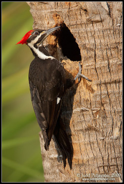 Pileated Woodpecker by Judd Patterson on Flickr.
