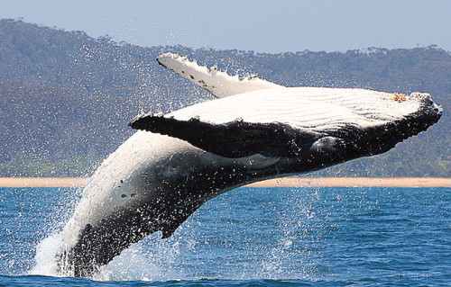 Whales at Eden. by raphie on Flickr.There are only about 6,000 humpback whales left in the oceans. In the early 1900s whaling was very popular and over 60,000 whales were killed.