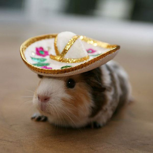 "hellocute:  Ready for the fiesta! (via That Cute Site)  A question I get asked surprisingly often at work is whether or not we sell clothes for guinea pigs.  Sadly we do not; we have an entire section devoted to doggy apparel and, now that it's Halloween season, costumes for cats as well, but the closet thing we sell to small animal clothes is a ferret harness that inexplicably looks like a referee shirt. I suppose it's for the best; I seriously doubt that small animals like to wear clothes like a dog might, and there's probably a serious risk of hurting the animal when you're trying to manipulate the tiny arms and legs through the openings in the clothes. So, my dream of having Olivia wear a little tiny princess dress (since I'm always calling her my ""Ratty Princess"") will probably never be realized.  Oh, well.  I'm still probably going to buy a vampire cape and a sailor bib for my two cats to wear…"
