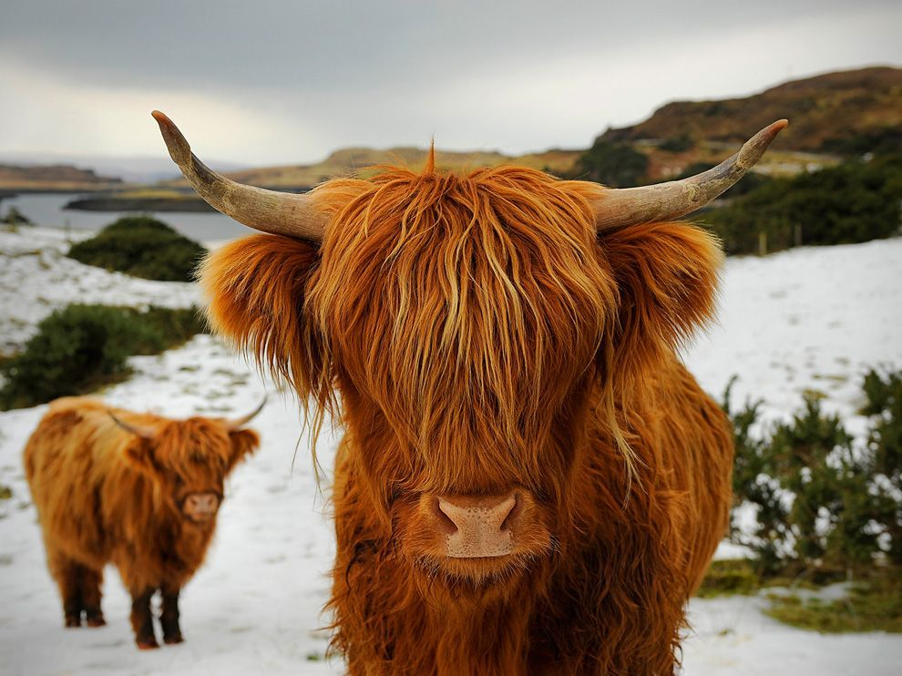 "allcreatures:  An ancient breed of highland cattle known as ""kyloe."" They are stout and  have adapted to grazing on plants that many other cattle avoid. Their  long shaggy hair protects them from the cold winters and rainy weather."