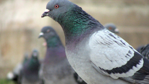 Pigeons recognize human faces, despite change of clothesUntrained pigeons can recognize individual people's faces and are not fooled by a change of clothes.