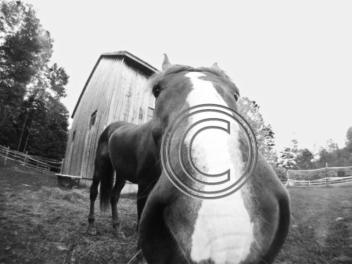 Horses love GoPro cameras too! I have recently been exploring the many uses of my GoPro HD Helmet Hero. Mainly, I use it in the winter for skiing, but now that the snow is gone, I'm looking for new ways. Biking videos came out cool, and tomorrow I will be experimenting with kayaking. I'm so happy it's waterproof, I have been wanting to take my Nikon D60 out on the river but its just to risky.   The wide-angle-fisheye type lens is great for animal close ups. In this photo, I did some minor tweaking with black and white and contrast. I really wish his entire nose made it in the photo! Visit my website to see more photos at www.ladybugphoto.zenfolio.com