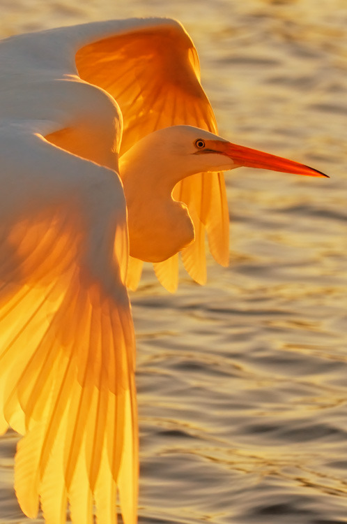 sunsurfer:  Egret at Sunset, Pismo Beach, California  photo via outdoorphotography