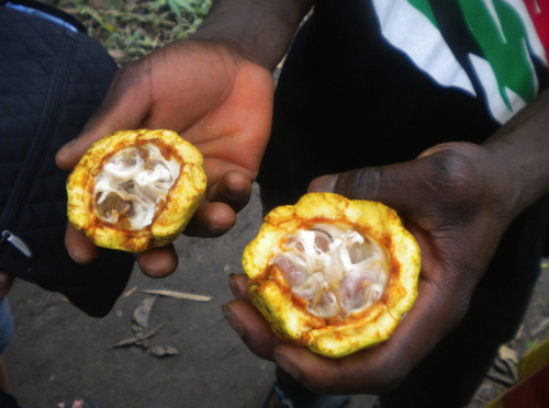 ghanalife:  Fruits of Ghana - Cocoa (koh-kooh) You can eat or suck the the pulpy membrane around the cocoa seed. The seeds are used for making chocolate and it's by products, and the the shell (pod) of the cocoa fruit is used for making soap. Cocoa is Ghana's number one cash-crop, main export.