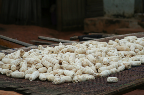 ghanalife:  AbéléSun dried maize. From here, it could be used in so many different ways.