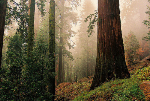 Sequoias#3 by dadoll on Flickr.