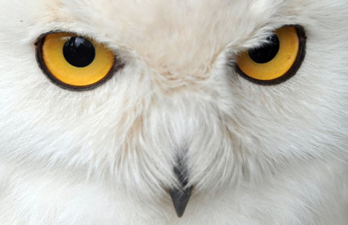 inothernews:  HARRY SPOTTER   A snowy owl named, yes, Harry, is pictured at the zoo in Hanover, northern Germany.  (Photo: AFP-Getty via the Telegraph)