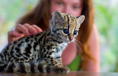 —- Awww, a baby ocelot. I'm dyin' from the cuteness! >.<