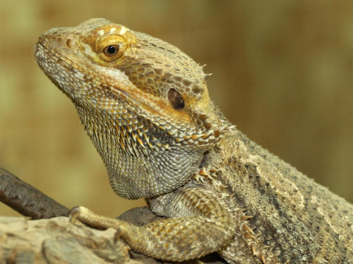 Pogona or Bearded Dragons bearded dragons are small reptiles surounded with fleshy spikes. they are native to Australia. They live in the arid, rocky, semi-desert regions and dry open woodlands. these animals love basking in the hot sun. when it gets too hot [110 degrees F] they like to burrow in the ground to keep a cool. a unique thing about bearded dragons is that they are omnivorous and diurnal. meaning they eat both meat [meal worms and crickets etc] and eat veggies. bearded dragons are VERY popular in the pet trade as well. they are very good with children because of their calm and friendly nature. they are bred in various colors now [though color will run you more $] but they are a very good beginner lizard if you're not into anoles or geckos. they are susceptible to some health issues if they are not given proper vitamins [much like iguanas] but not nearly as finicky. they can live for 10+ years in captivity!